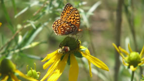 Fort Collins butterfly